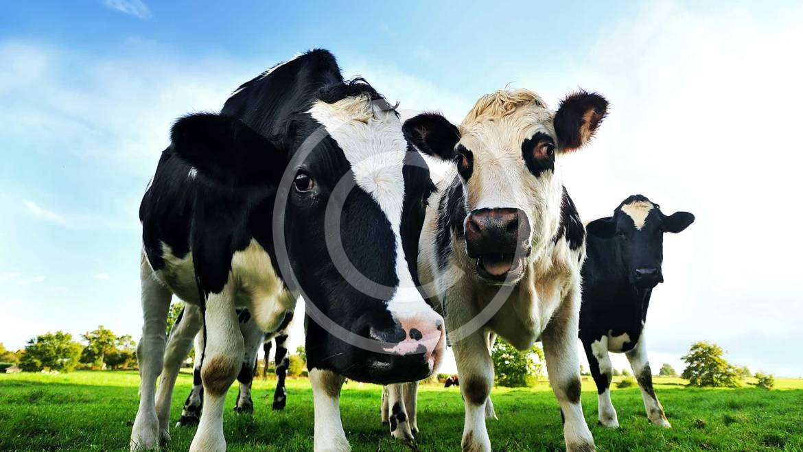 Dairy Nutrition and Profitability Optimization